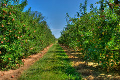 Apple Orchard. A high dynamic range image of an apple orchard during autumn Stock Photo
