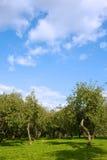 Apple orchard. Evening apple garden under blue sky Stock Photography
