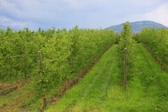 The apple orchard royalty free stock images