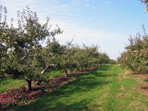 Apple orchard. Apple trees in the orchard Stock Photography
