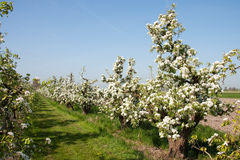 Apple orchard Royalty Free Stock Image