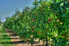 Apple Orchard #2. A high dynamic range image of an apple orchard during autumn Royalty Free Stock Photo
