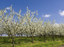 Apple orchard 2 Royalty Free Stock Photography