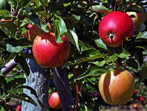 Apple Orchard. An apple orchard in Southwestern Ontario Stock Images