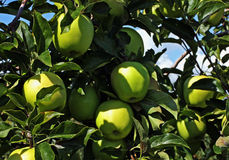 Apple Orchard. An apple orchard in Southwestern Ontario Stock Photography