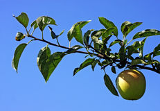 Apple Orchard. An apple orchard in Southwestern Ontario Royalty Free Stock Image