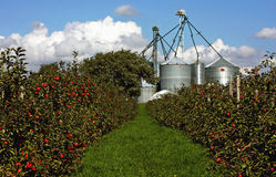 Apple Orchard. An apple orchard in Southwestern Ontario Royalty Free Stock Images