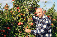 Apple orchard. Gardener harvests apples in an orchard Stock Photography