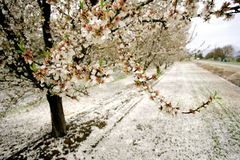 Apple orchard. In bloom, California Stock Images
