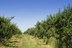 Apple orchard. On a sunny day Stock Photo