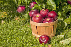 Apple Orchard. Views of a farm apple orchard in the fall Royalty Free Stock Photography