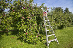 Free Apple Orchard Stock Images - 27087354