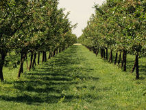 Apple orchard. Beautiful apple orchard in a row at both sides Royalty Free Stock Image