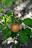 Apple in orchard Royalty Free Stock Photography