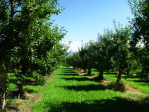 Apple orchard. Apple trees standing in an orchard stock photography
