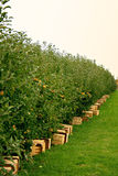 Apple orchard. With boxes for harvesting Royalty Free Stock Photography