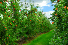 Free Apple Orchard Stock Photo - 3067840
