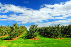 Free Apple Orchard Royalty Free Stock Photography - 3067847