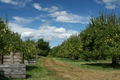 Apple Orchard. On a beautiful, sunny day Royalty Free Stock Photos