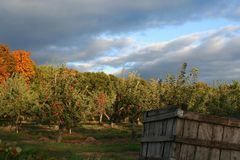 Apple Orchard. An Apple Orchard at dusk Stock Image