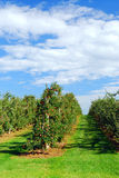 Apple orchard. With red ripe apples under bright blue sky Stock Photography