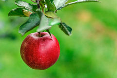 Apple Orchard Royalty Free Stock Photography
