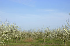 Apple orchard. With blue sky Stock Photo