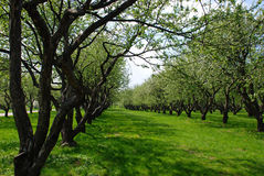 Apple orchard. Kind on trees in spring apple orchard Stock Image