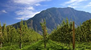 Apple Orchard in the afternoon sun. An apple orchard within the Similkameen Valley of British Columbia Canada. Just outside the town of Keremeos there are many stock image
