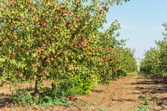 Apple orchard with apple harvest Royalty Free Stock Image
