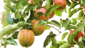 Apple orchard stock video