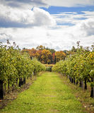 Apple orchard in Autumn Stock Photography