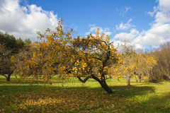 Apple orchard in autumn. Royalty Free Stock Image
