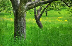 Spring landscape. Apple orchard Royalty Free Stock Image