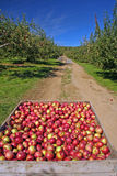 Apple orchard, Berkshires, MA. Stock Photos