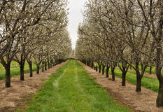 Apple Orchard in bloom Stock Photography