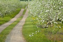 Apple orchard in bloom royalty free stock photos