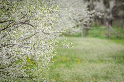 Apple orchard in bloom Stock Image