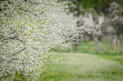 Apple orchard in bloom Royalty Free Stock Images