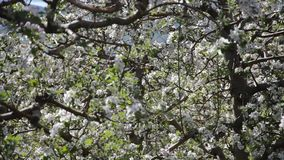 Apple orchard in bloom, stock footage
