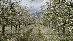 Apple orchard in bloom, stock video