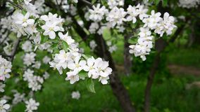 Apple orchard in bloom white flowers stock video footage