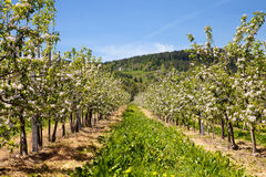 Apple orchard in blossom Stock Image