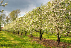 Apple orchard in blossom Stock Images
