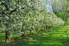 Apple orchard in blossom Stock Photo