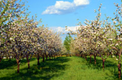 Apple orchard in blossom in spring sunny day in pastel colors. Backgrounds. Blur effect Stock Images