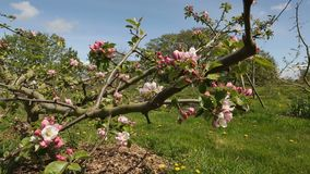 Apple Orchard Blossoms dolly shot stock video footage