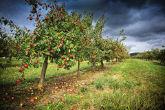 Apple orchard at cloudy day Royalty Free Stock Photos