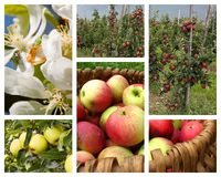 Apple orchard collage. Photo collage with images of apple, apple trees, orchard Royalty Free Stock Image
