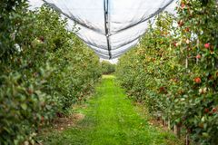 Apple plantage in the countryside royalty free stock photo